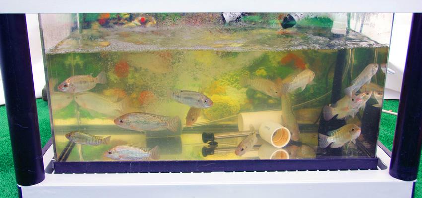 Aquaponics Fish | Aquaponics USA