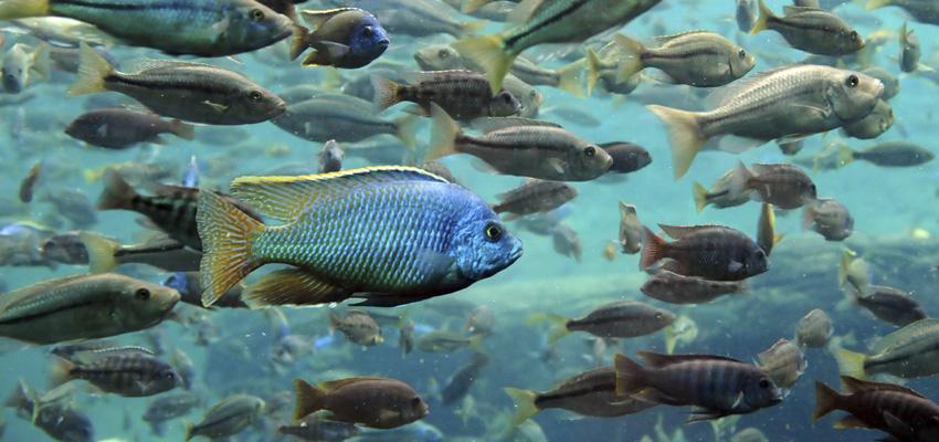 Aquaponics fish aquaponics usa for Tilapia aquaponics