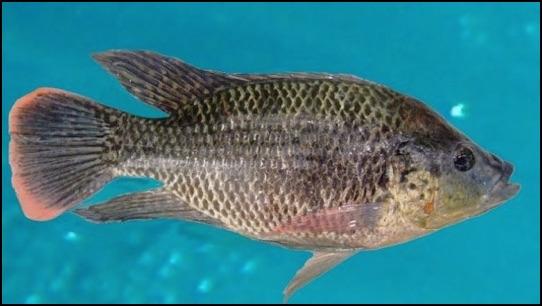 Blue tilapia fishing the image kid has it for Tilapia aquaponics