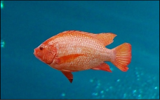 Tilapia for sale aquaponics usa for Tilapia swimming